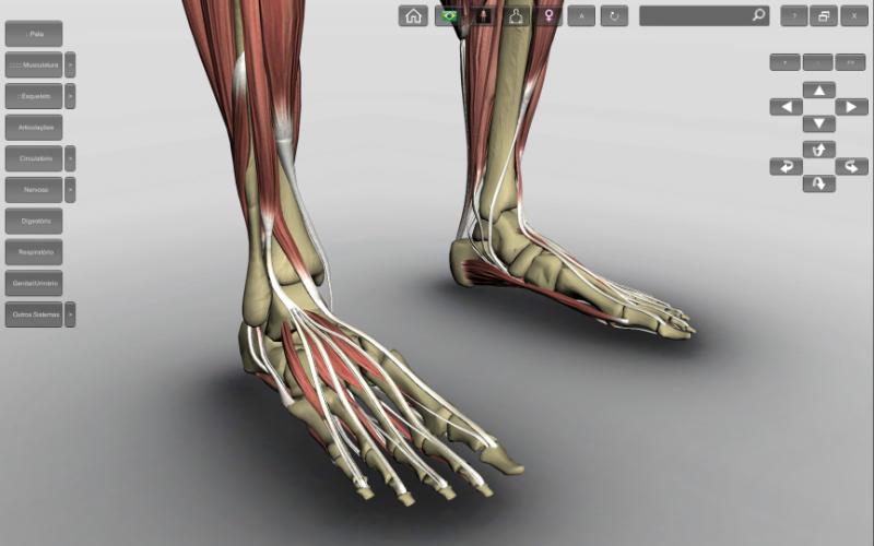 Anatomia do pé