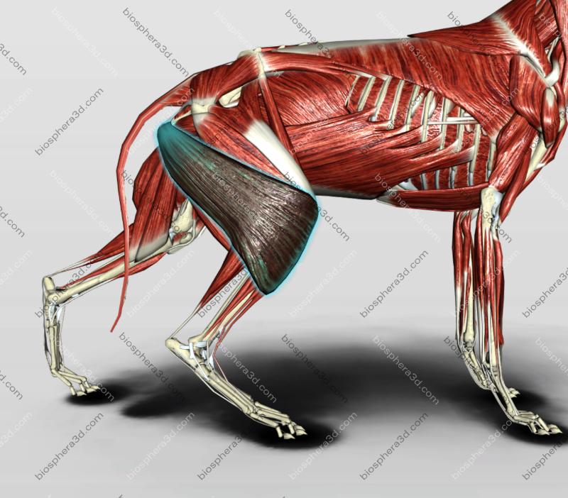 Músculo bíceps femoral - cachorro