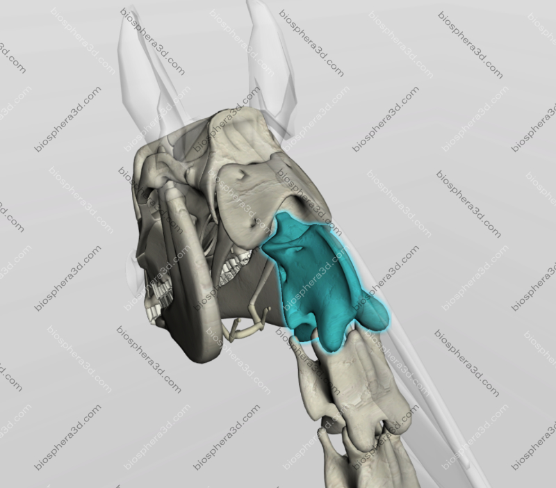 Áxis - vértebra cervical (C2) - cavalo