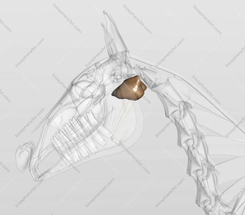Bolsa gutural - cavalo