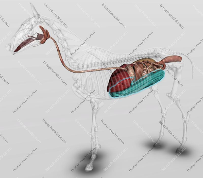 Sistema digestório: cólo ascendente (cavalo)