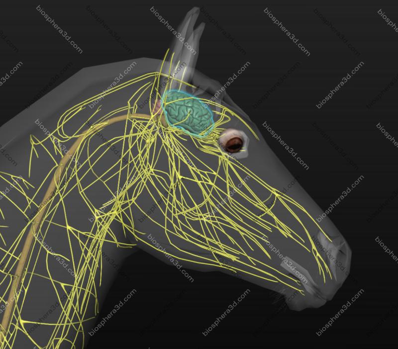 Córtex cerebral equino