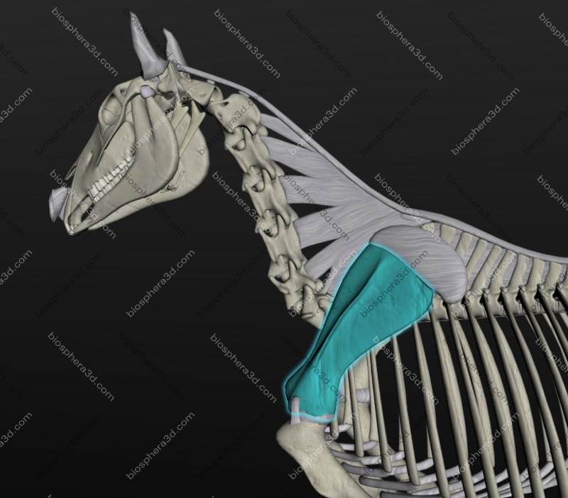 Escápula de cavalo