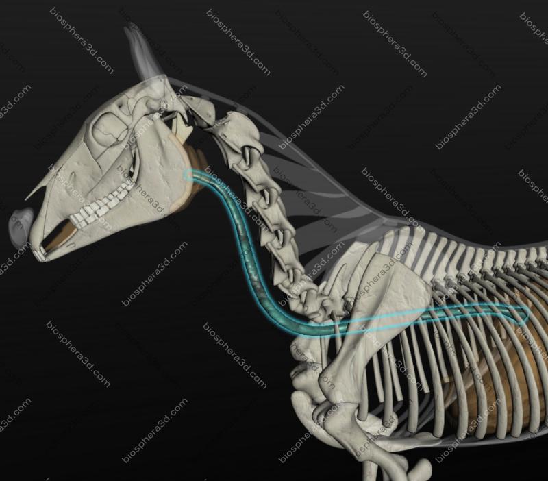 Esôfago (cavalo)