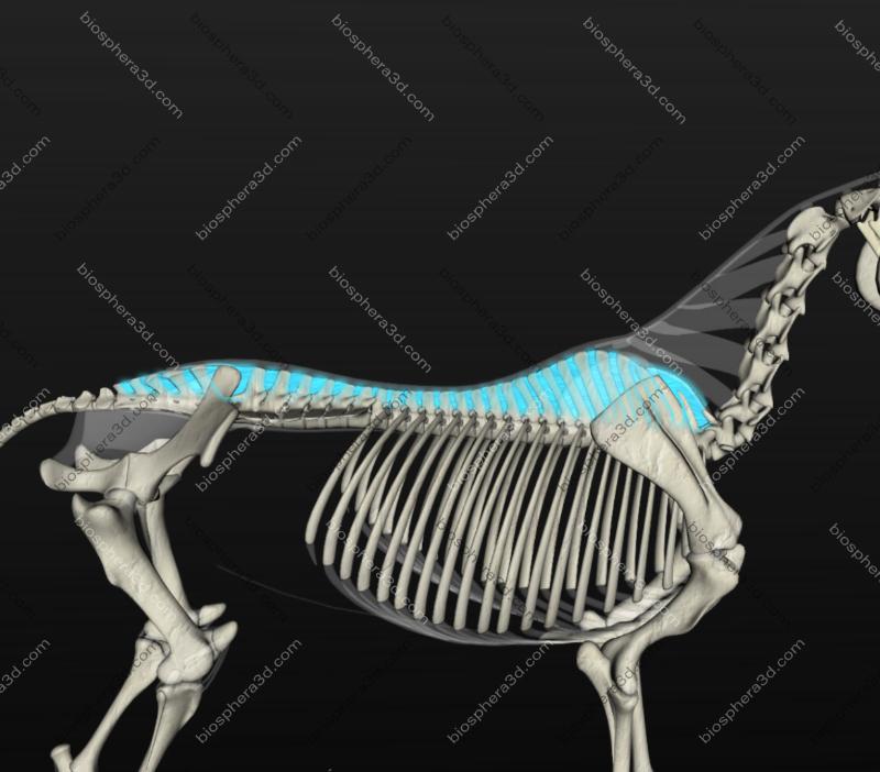 Ligamento interespinhal (cavalo)