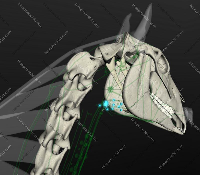 Linfonodos cervicais profundos do cavalo