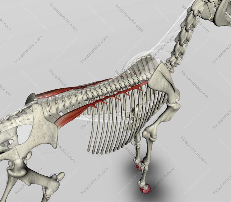 Músculo iliocostal (cavalo)