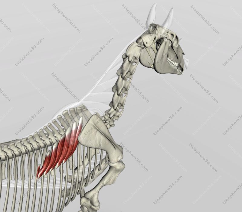 Músculo serrátil dorsal cranial - Cavalo
