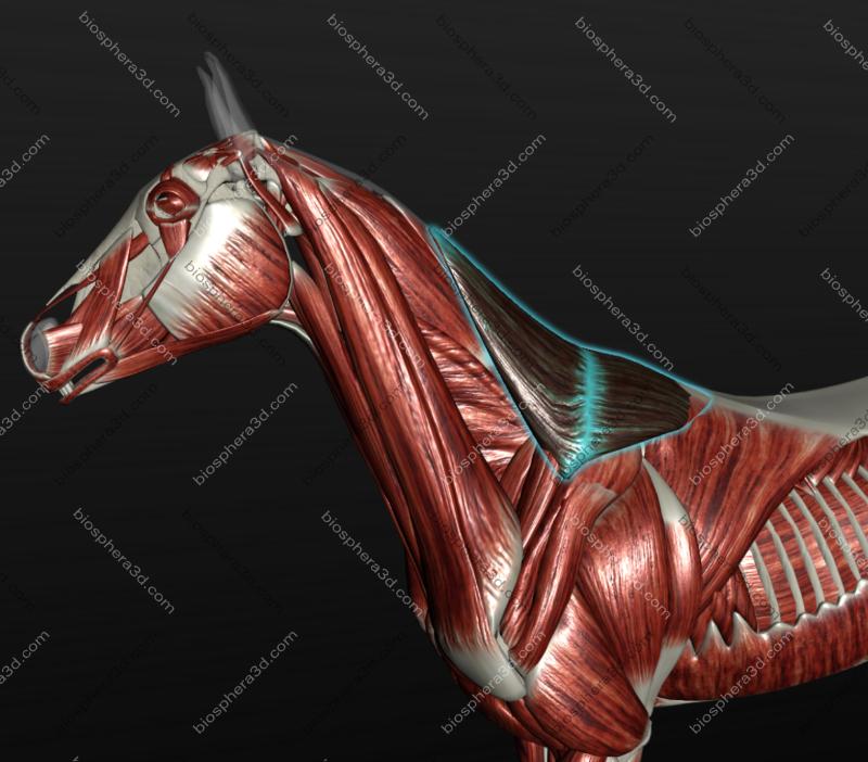 Músculo trapézio no equino