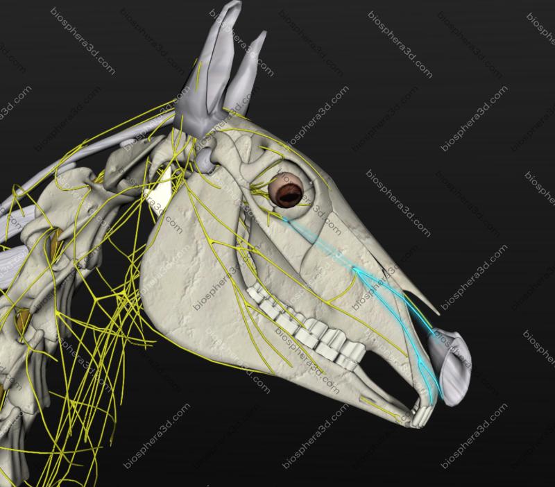 Nervo infraorbital (cavalo)