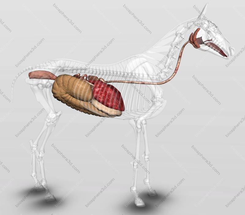 Sistema digestório do cavalo