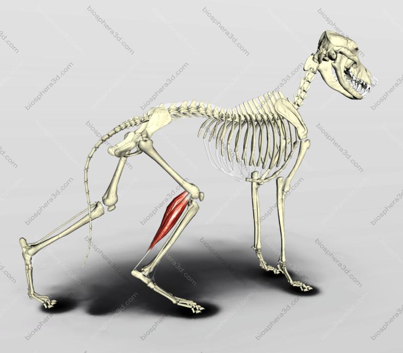 Músculo gastrocnêmio - cachorro