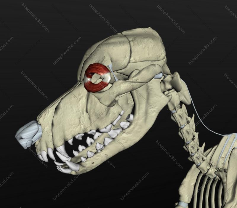 Músculo orbicular do olho - cachorro