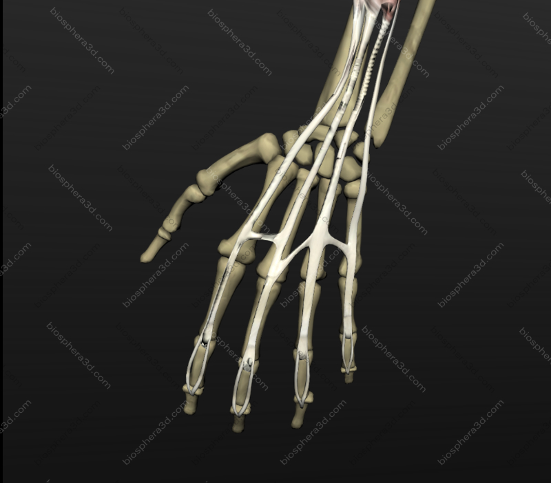 Músculo extensor dos dedos da mão
