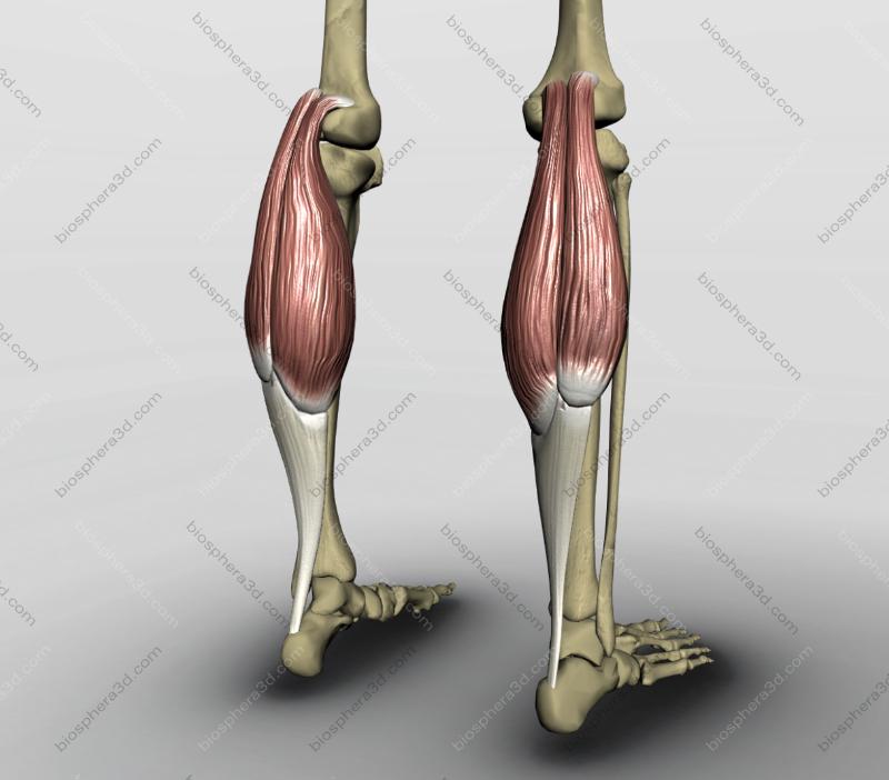 Músculo gastrocnêmio