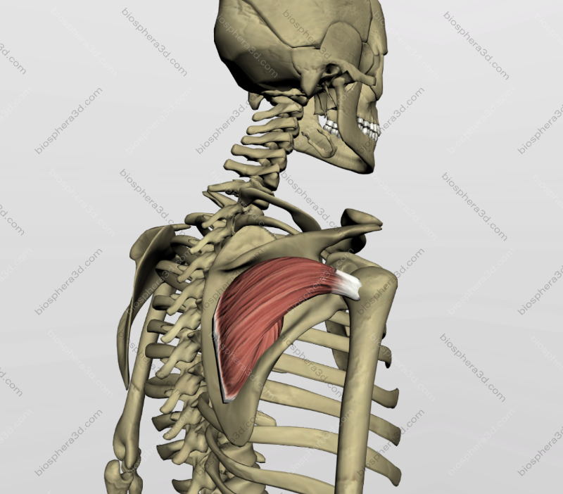 Músculo infra-espinhal