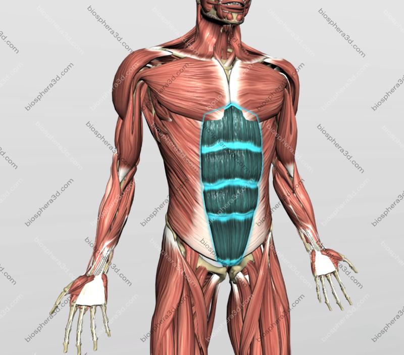 Músculo reto do abdôme