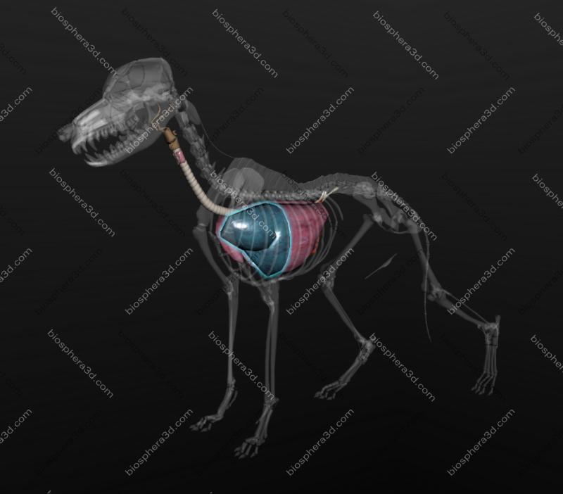 Pulmão (lobo cranial) de cachorro