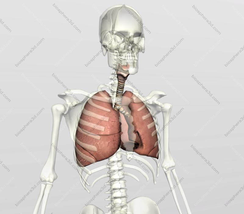 Pulmões, sistema respiratório humano
