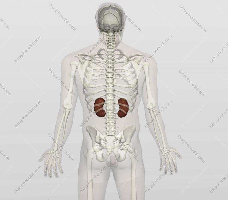 Rins, anatomia humana