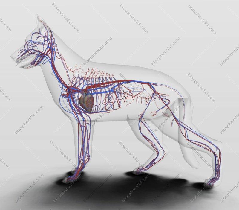 Sistema circulatório do cão
