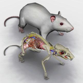 anatomia do rato 3D