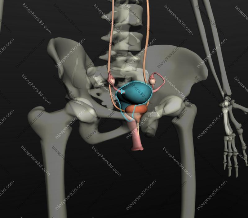 Útero, anatomia humana
