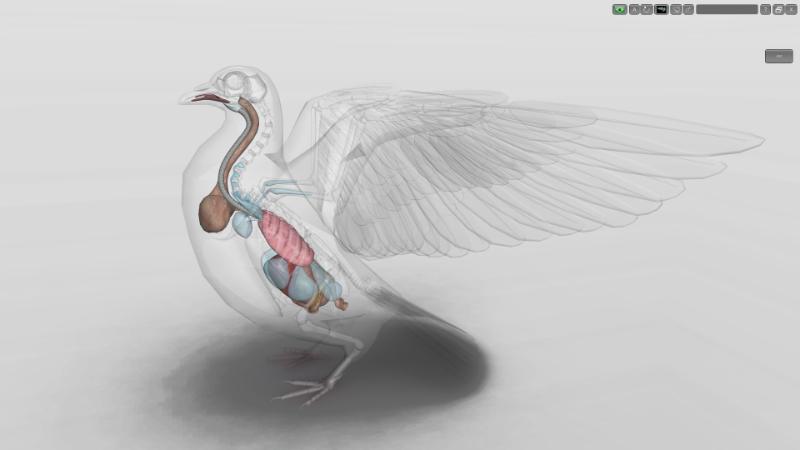 sacos aéreos pombo