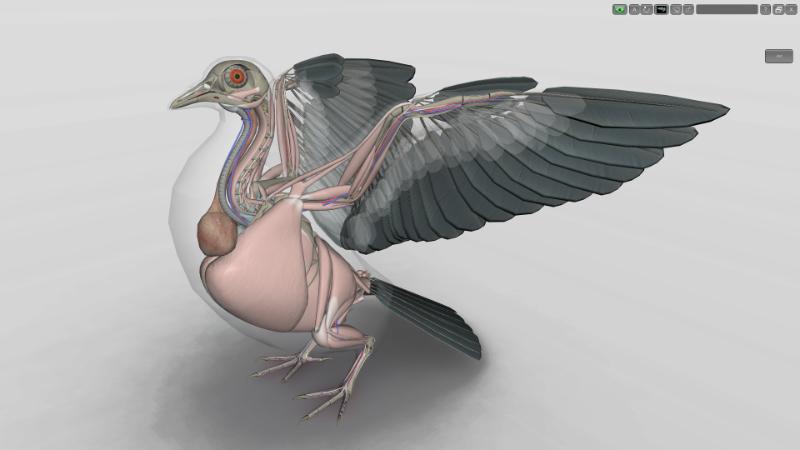 musculatura de pombo