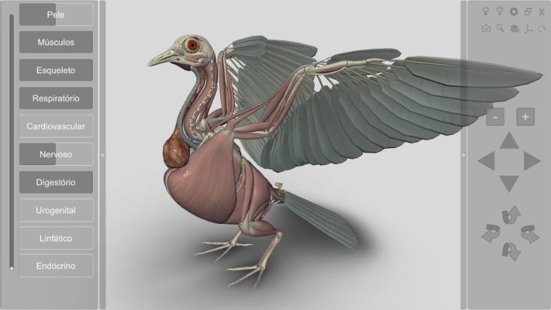 musculatura pombo