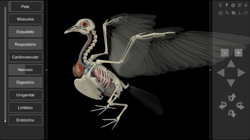 anatomia interna pomba