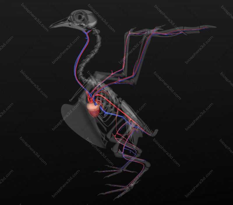 sistema circulatório de ave