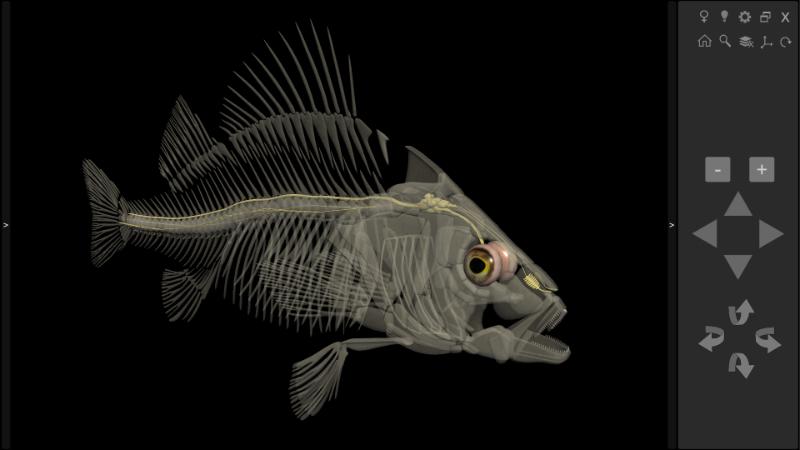 anatomia dos peixes - sistema nervoso