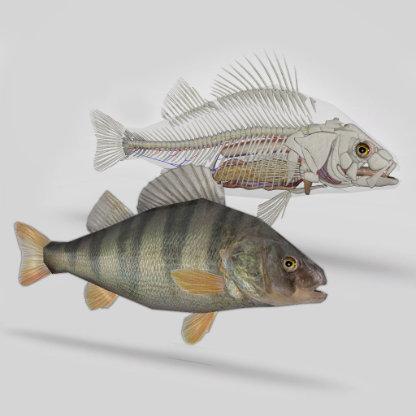 software anatomia dos peixes ósseos 3D