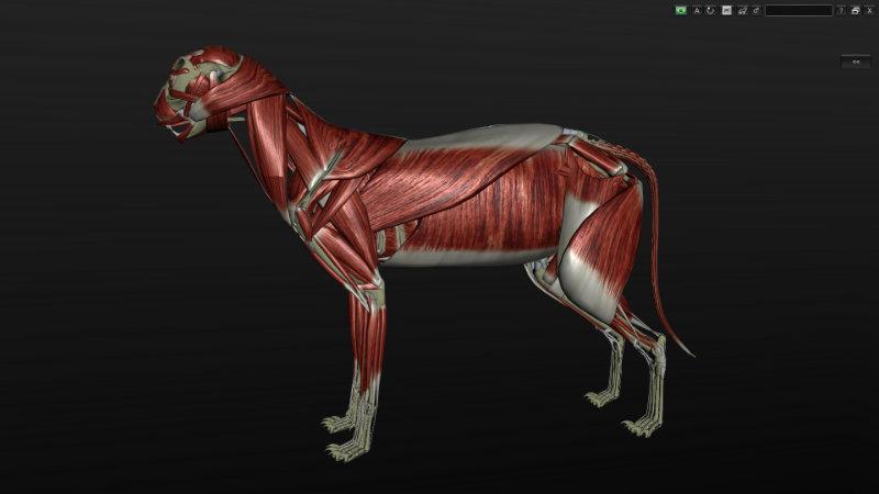 musculatura de gato 3D