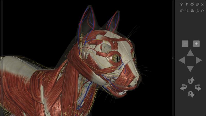 anatomia cabeça gato
