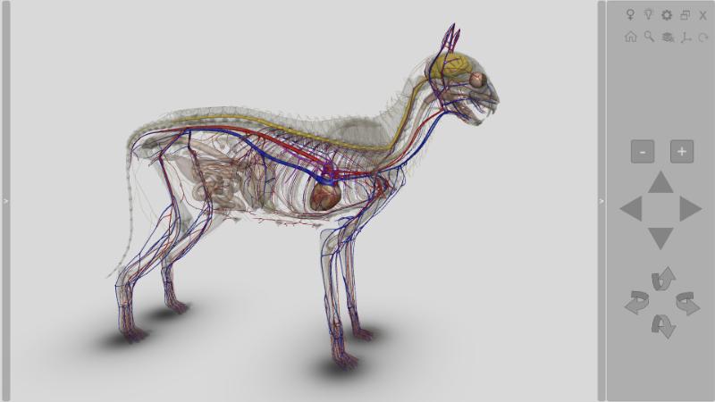 anatomia gato